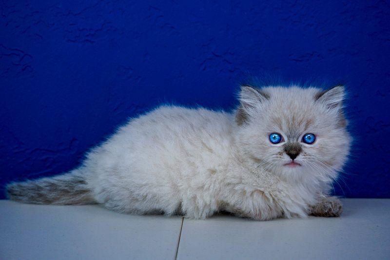 Ragdoll Kittens For Sale Near Me Buy Ragdoll Kitten Www Ragcats Us Ragdoll Kittens For Sale Ragdoll Kitten Kittens