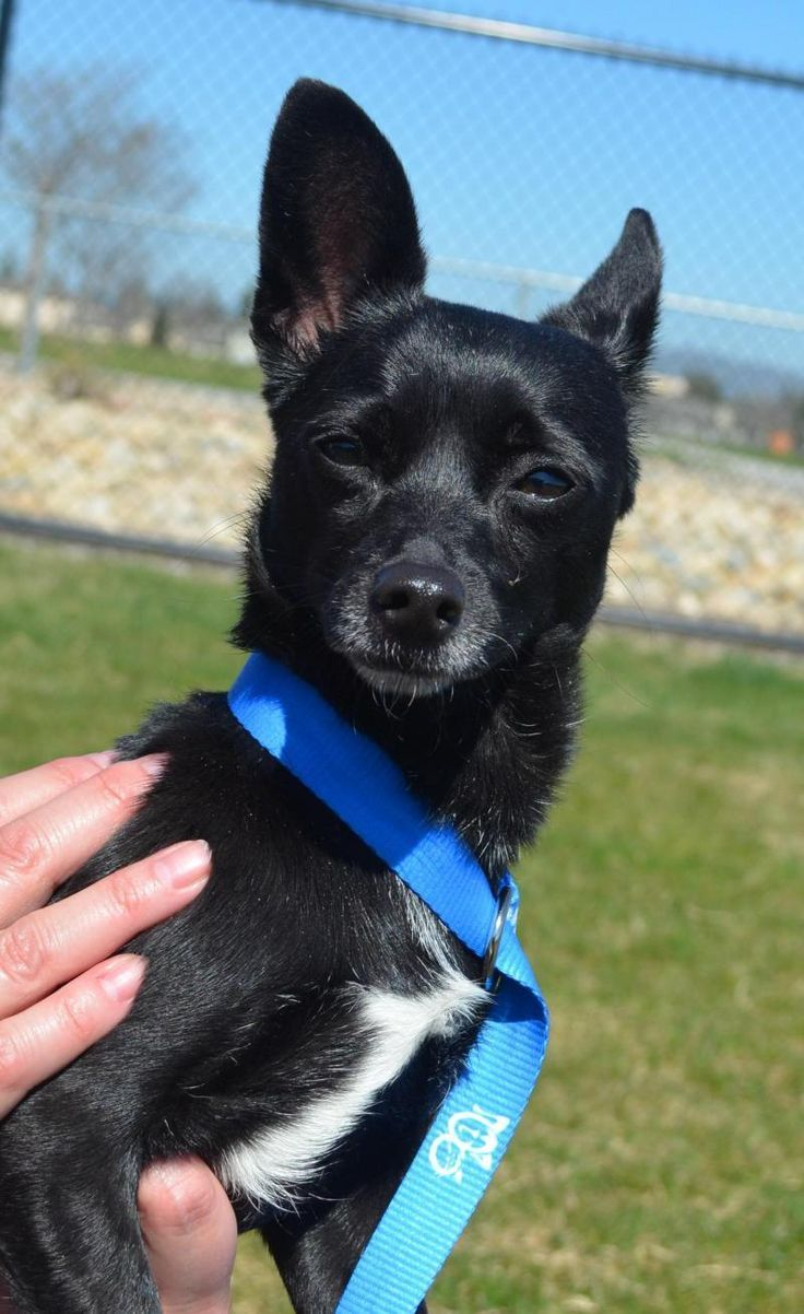 Adult AGNES Chihuahua Female small terrier Winkl