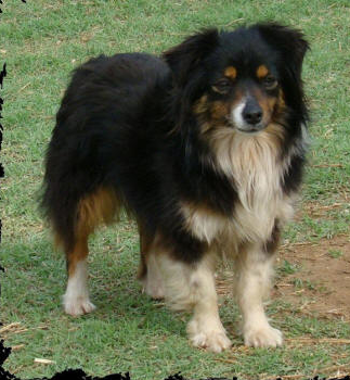 Beanna Is A Cute Little Black Tri Female Aussie She S 12 Inches