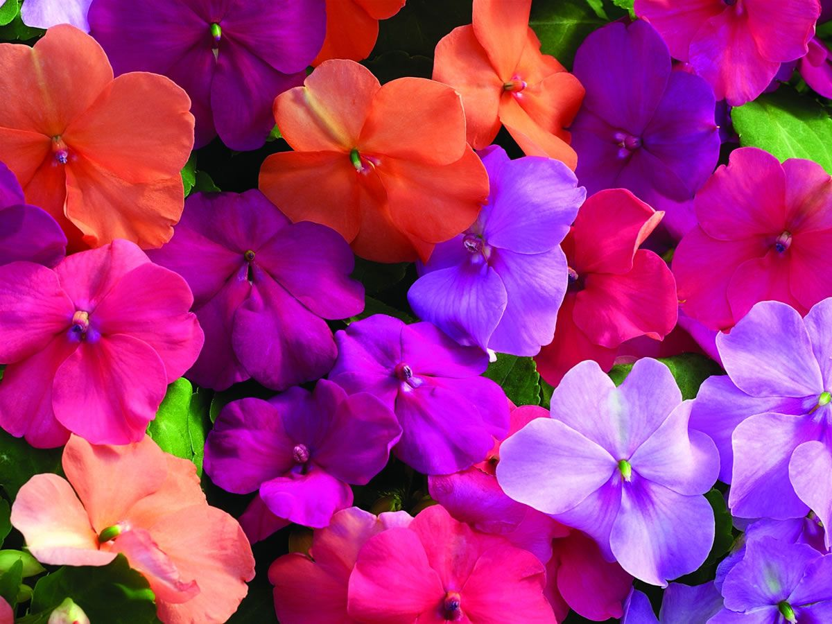 Impatiens Flowers Flowers Pinterest Flowers Perennials And