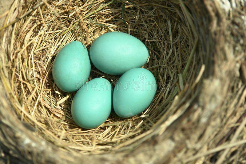 Blue Robin Eggs Bird Nest Four Small Blue Eggs In A Robin S Nest Ad Bird Nest Eggs Blue Robin Ad Bluebird Eggs Robin Bird Eggs Bird Eggs