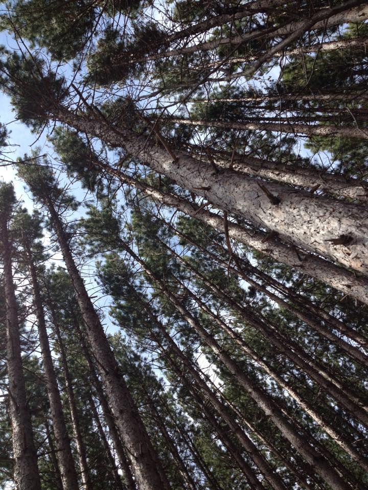 Some beautiful trees shared with me from a property in Swift, in northern Minnesota. Lovely lovely lovely lovely lovely...