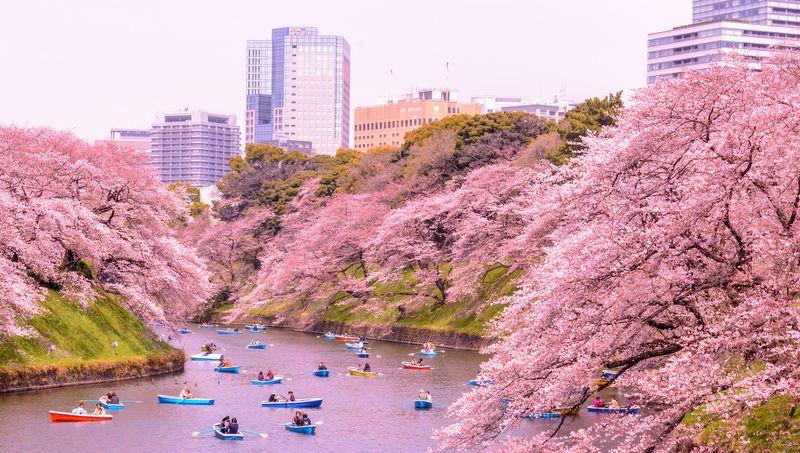 How To Plan A Cherry Blossoms Trip To Japan Mapping Megan Cherry Blossom Japan Japan Travel Japan Travel Guide