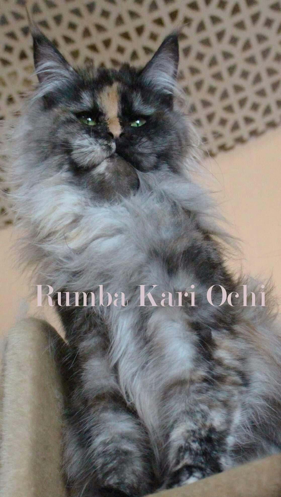 3 Rumba Kari Ochi 3 Female Fs 09 3 Option Norwegian Forest Cat