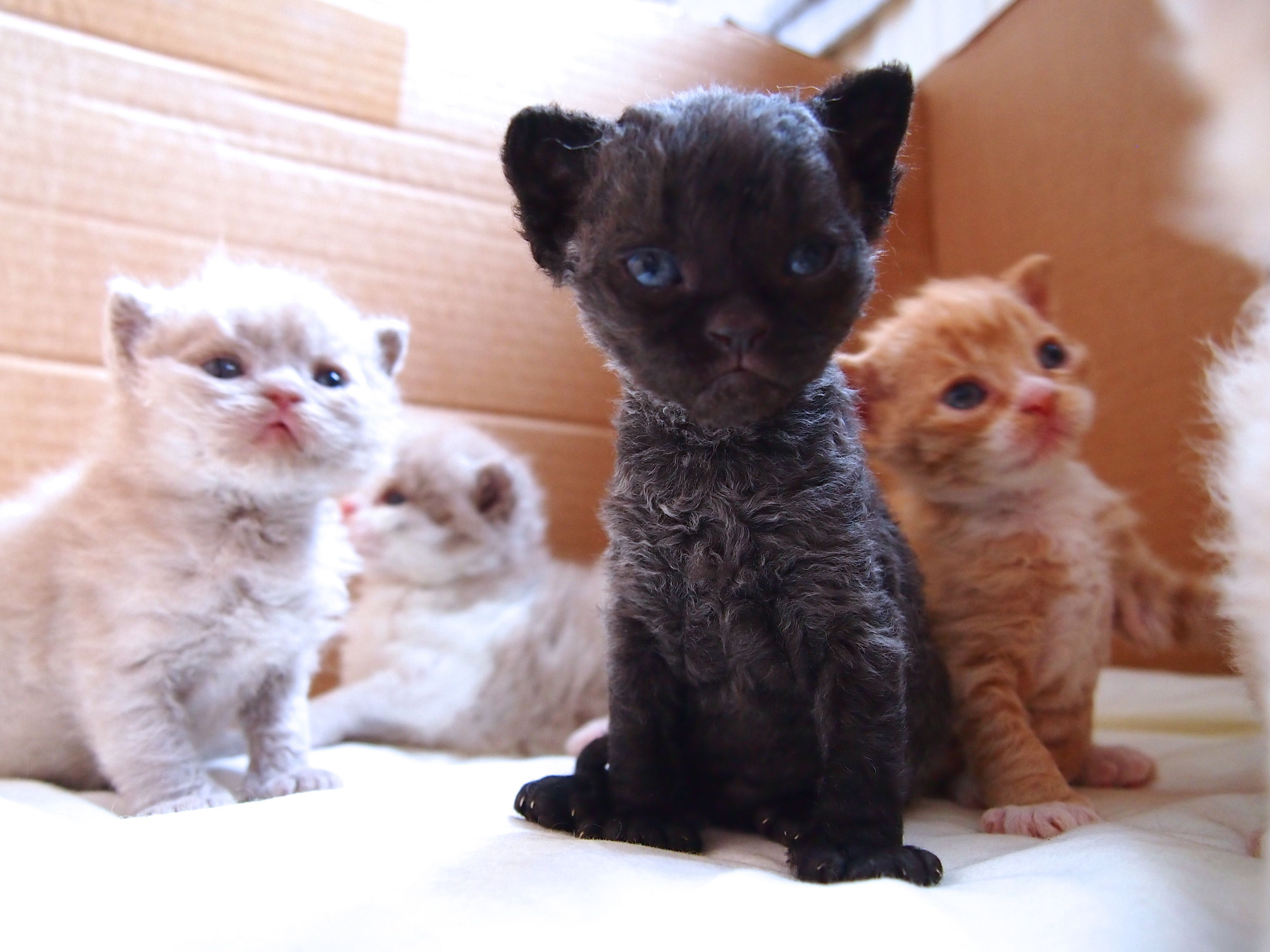 Curly Lamblike Selkirk Rex Kittens Selkirk rex, Cats and