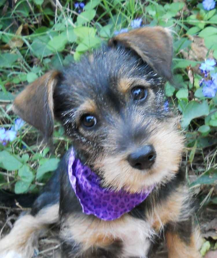 Dachshund / Miniature Schnauzer cross omg so cute