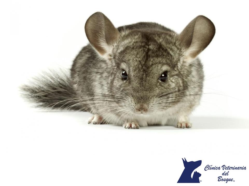 LA MEJOR VETERINARIA DE MÉXICO. Las chinchillas, son pequeños roedores parientes del puercoespín, cobayo; originarios de Sudamérica, de manera natural habitan en los andes del Perú, Bolivia, Chile, y Argentina y se crían en cautiverio desde 1923. En Clínica Veterinaria del Bosque contamos con médicos expertos para atender esta y otras mascotas. Te invitamos a comunicarte con nosotros a los teléfonos 5360-3311 y 5240-0404 para resolver todas tus dudas o para que realices una cita para que…