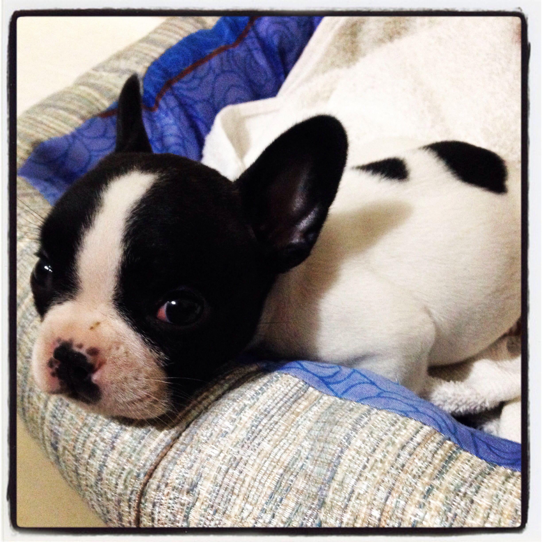 Laila 1 Month French Bulldog Puerto Rico French Bulldog