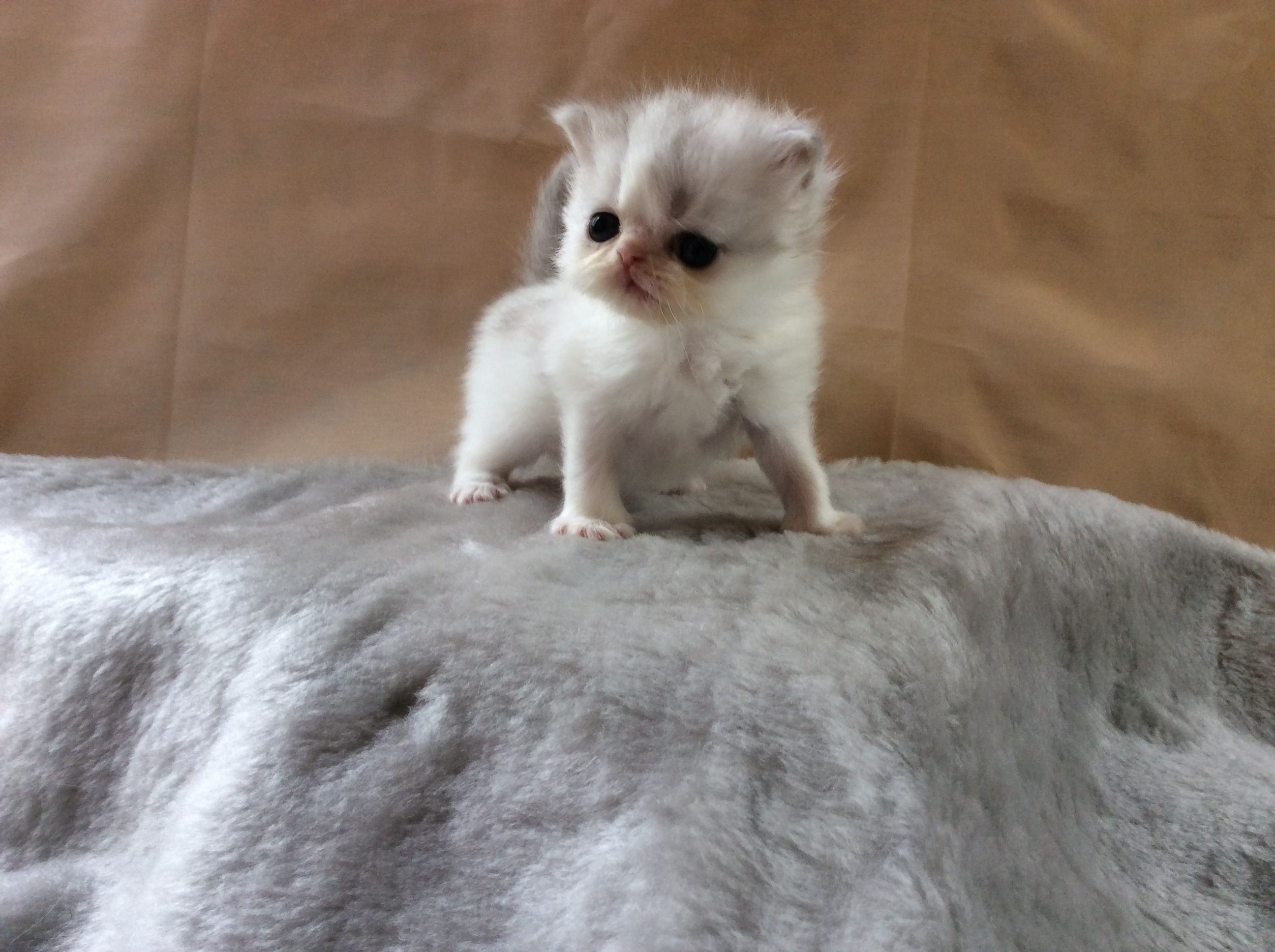 Macaron a non standard silver Lynx van Napoleon Minuet kitten for