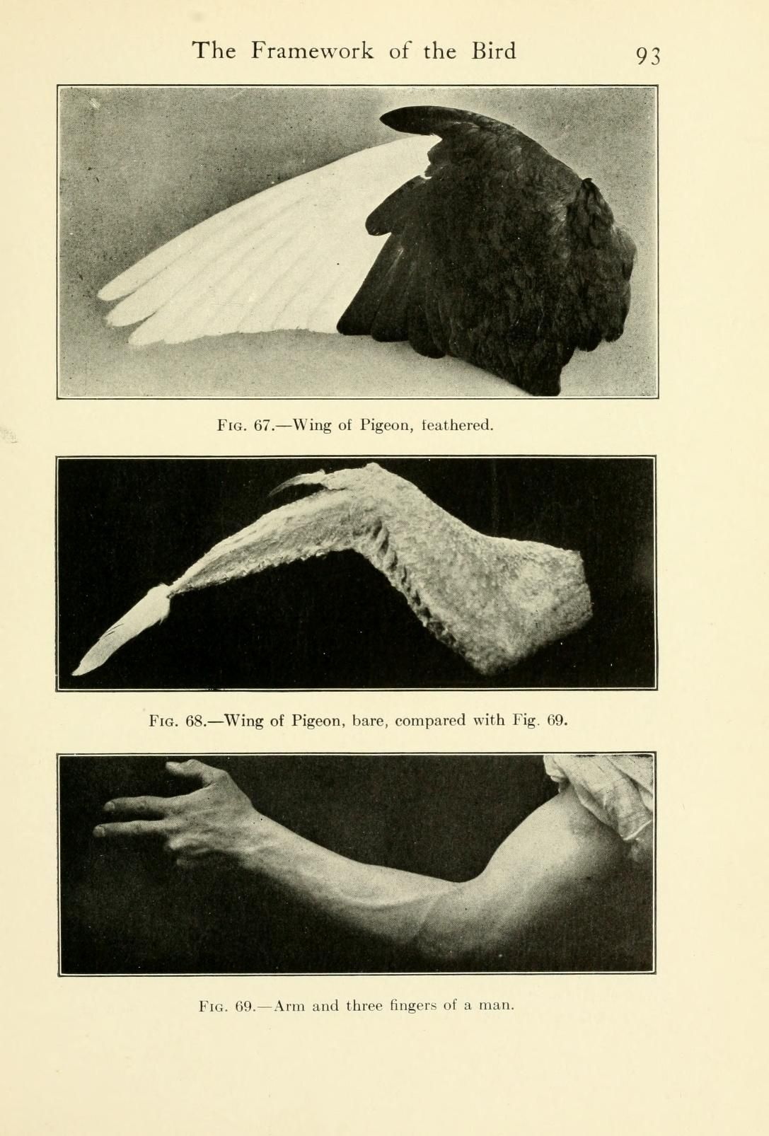 The bird; its form and function : Beebe, William, 1877-1962 : Free Download, Borrow, and Streaming : Internet Archive