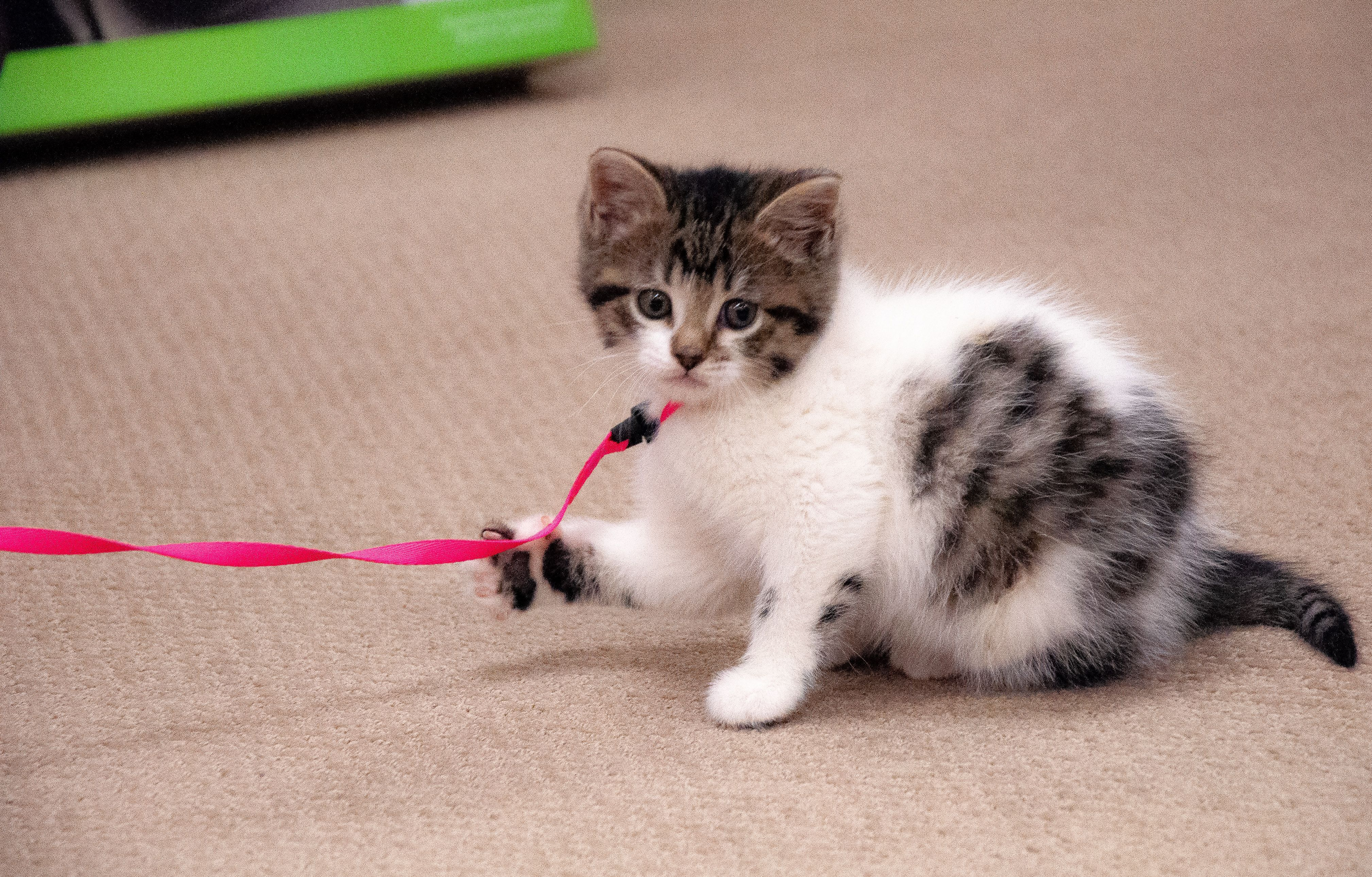 Tips For Bringing Home And Training A New Kitten Kitten Proofing Kitten Adoption Cat Training