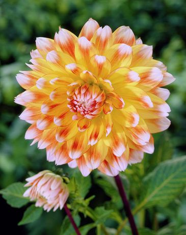 Dahlia Peaches N Cream Bulb Flowers Dahlia Flower Beautiful Flowers