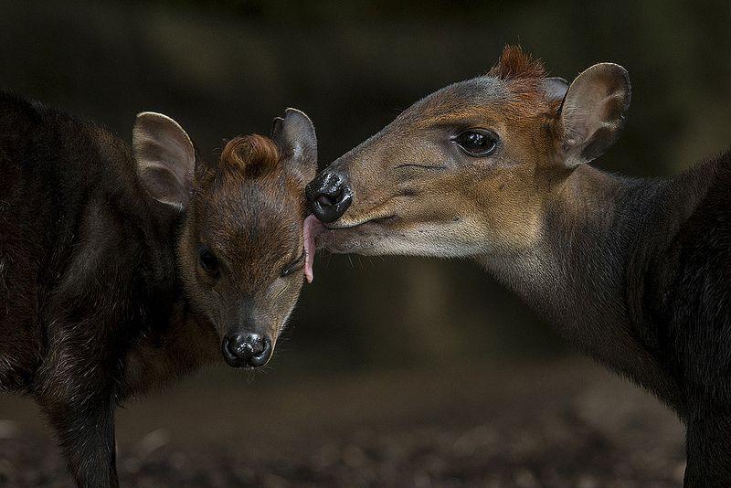 Ahh mo-o-om! Black duiker #baby kiss <3