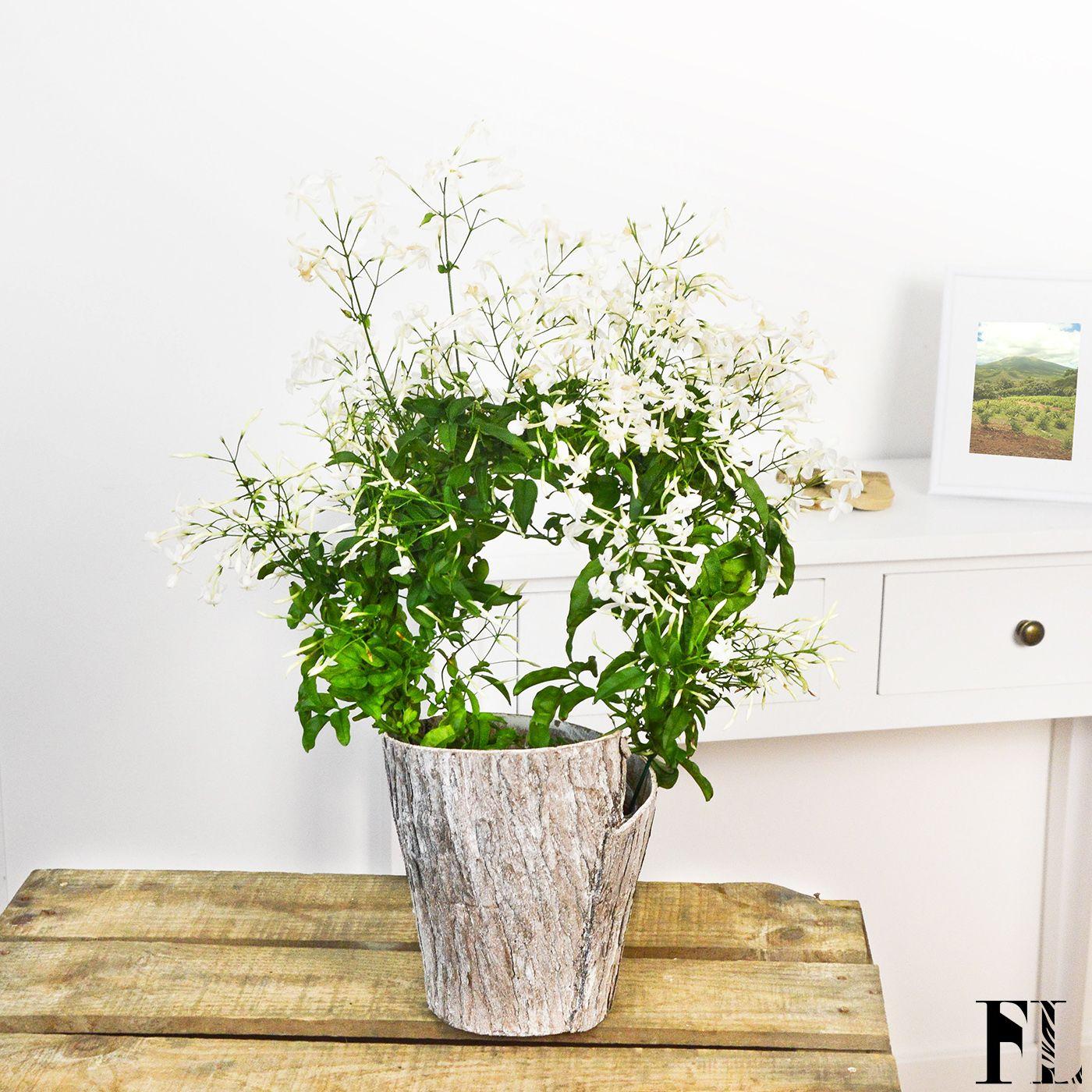 Épinglé par Fleurs Lointaines sur Plantes | Plante jasmin ...
