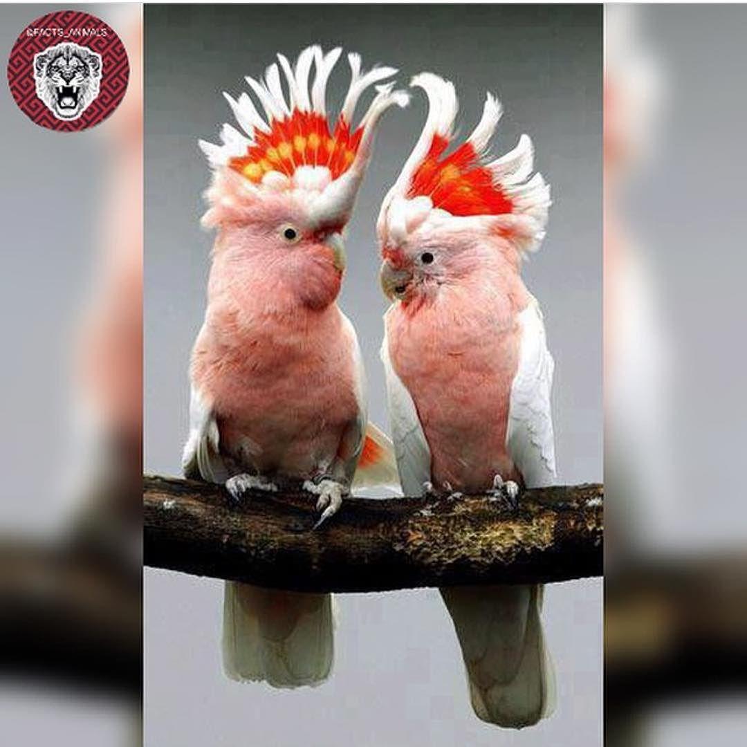 حـقـائـق عــن الــحيــوانــات On Instagram صغير ببغاء الكوكاتو Cockatoo يعيش في جزر شرق اسيا كالفلبين واندونيسي Pet Birds Beautiful Birds Animals Beautiful