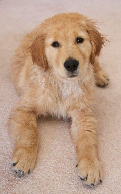 Golden Retriever Puppy Drying After Bath Retriever Golden Retriever Dogs