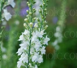 Linaria springside white is a delightful plant with tall spikes of linaria springside white is a delightful plant with tall spikes of startling white tiny flowers that resemble miniature snapdragons seeds seedaholic mightylinksfo