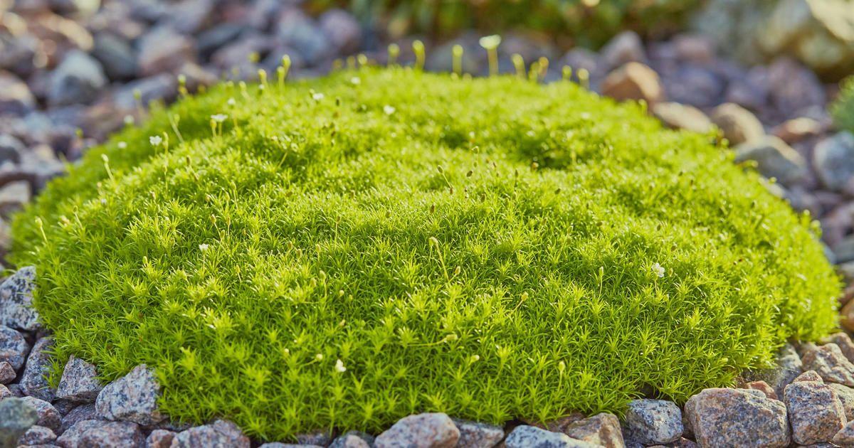 Sternmoos, Mastkraut (Sagina subulata) pflanzen und pflegen Garten - gartenpflanzen winterhart immergrun