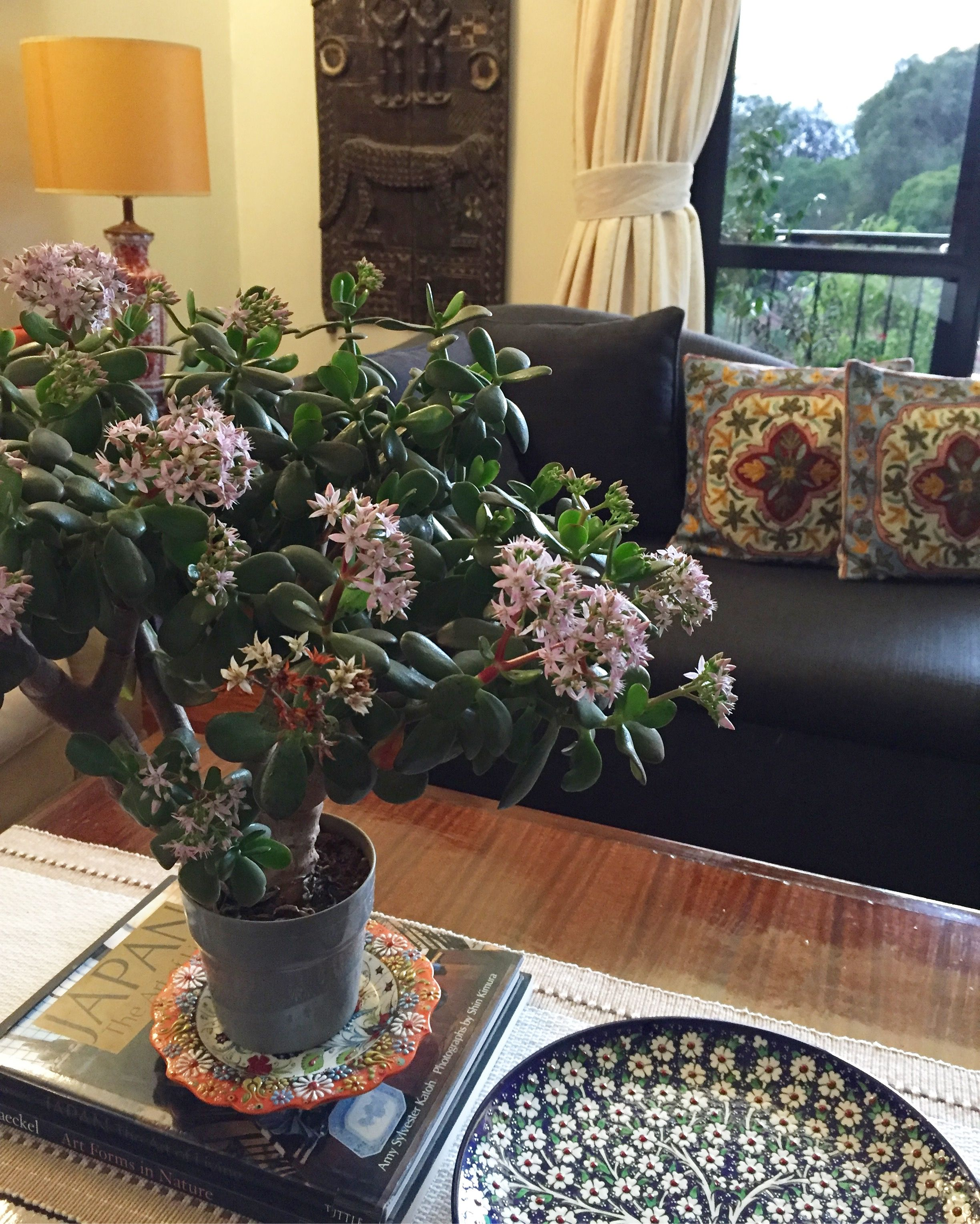 My Blooming Jade In Living Room Indian Home With Plants Decor Styling
