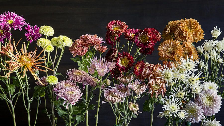 Chrysanthemum Elegant Symbolic Flowers For Autumn Bouquets Sunset In 2020 Autumn Flowering Plants Fall Plants Shade Plants
