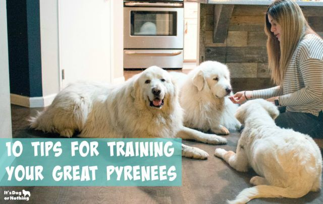 10 Tips For Training A Great Pyrenees Puppy Great Pyrenees