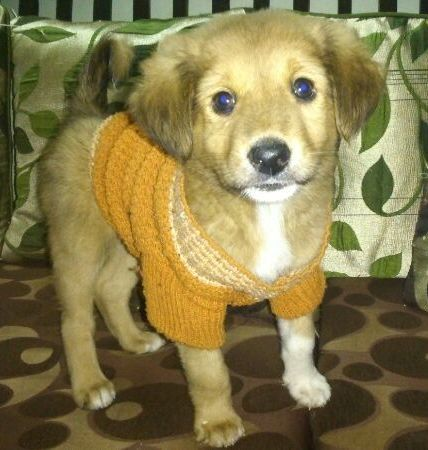 Jan 05 13 New Delhi Ncr Adoptadog Bhallu Is An Eight Weeks Old Beautiful And Adorable Pup Whi He S A Gentle And Saga Dog Adoption Pets Shelter Dogs
