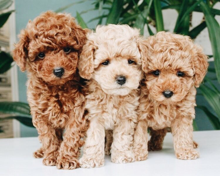Pin By Victoria Johnson On Animals Cockapoo Puppies Cute