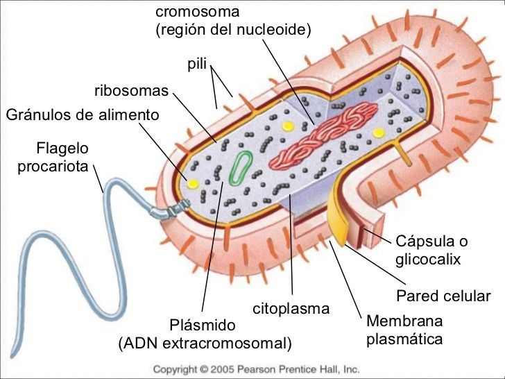 Diagram of Prokaryotic Cell by Mariana Ruiz - Detailed description ...