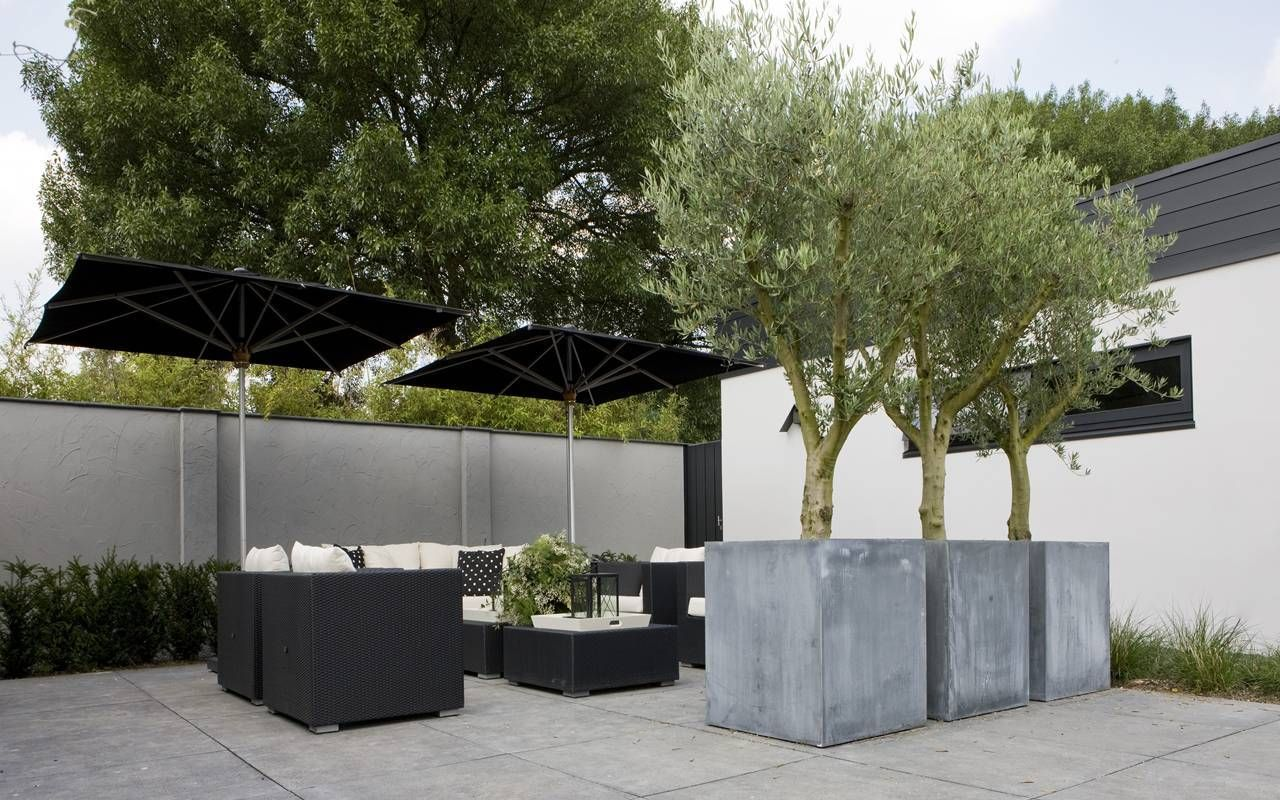 Olive trees in large contemporary concrete planters fotos van
