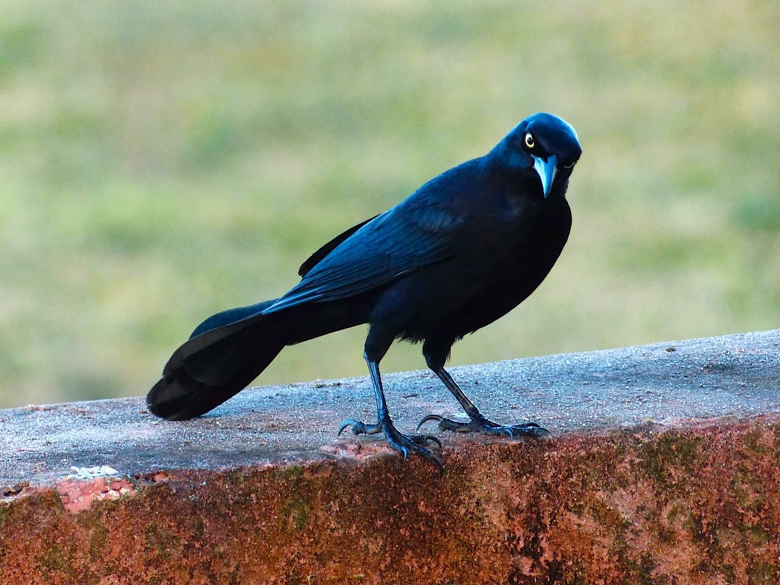 You Talking To Me Greater Antilean Grackle