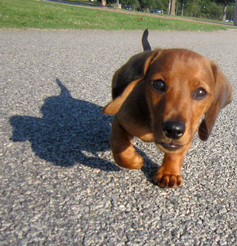 Dachshund Puppy And His Shadow Doxie Puppies Baby Dachshund