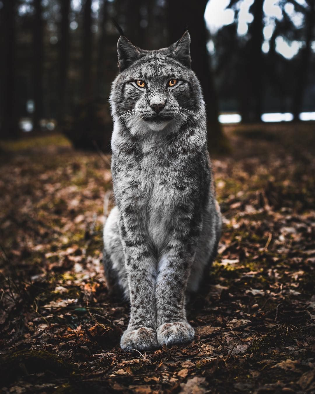 Lynx are perhaps most known for their black tufts present