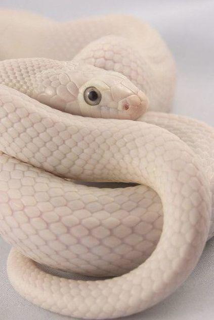 Albion Female Leucistic Texas Ratsnake Julian Rossi Flickr 美しいヘビ かわいいペット 可愛すぎる動物