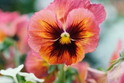 Pin By Wilma Willis On Spanish Likes Flowers Pansies Johnny Jump Up
