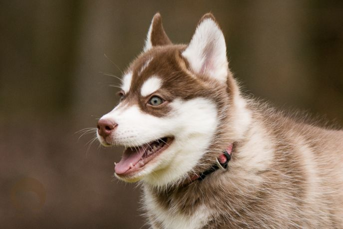 Husky Welpe Nola #welpe #husky #puppie #puppy
