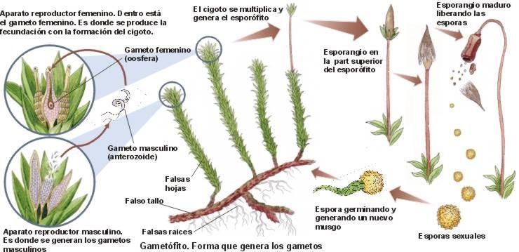 Reproduccion de los musgos asexual propagation