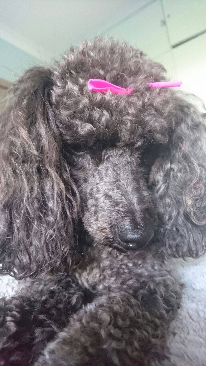 My Beautiful Pollyanna Poodle French Poodles She Girl