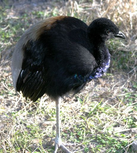 The grey-winged trumpeter, a species of bird commonly found in the region.