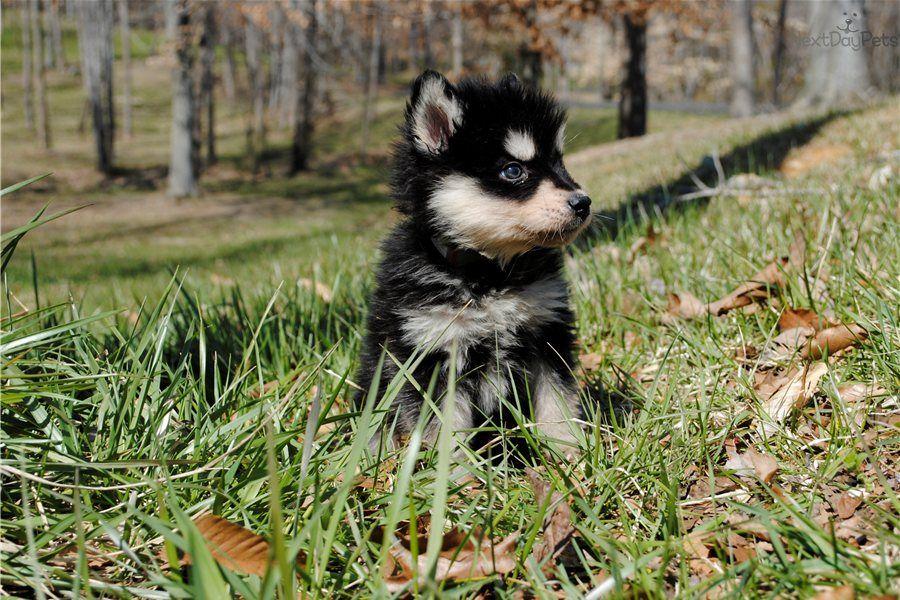 Wolf Hybrid for sale Wolf hybrid, Wolf hybrid puppies