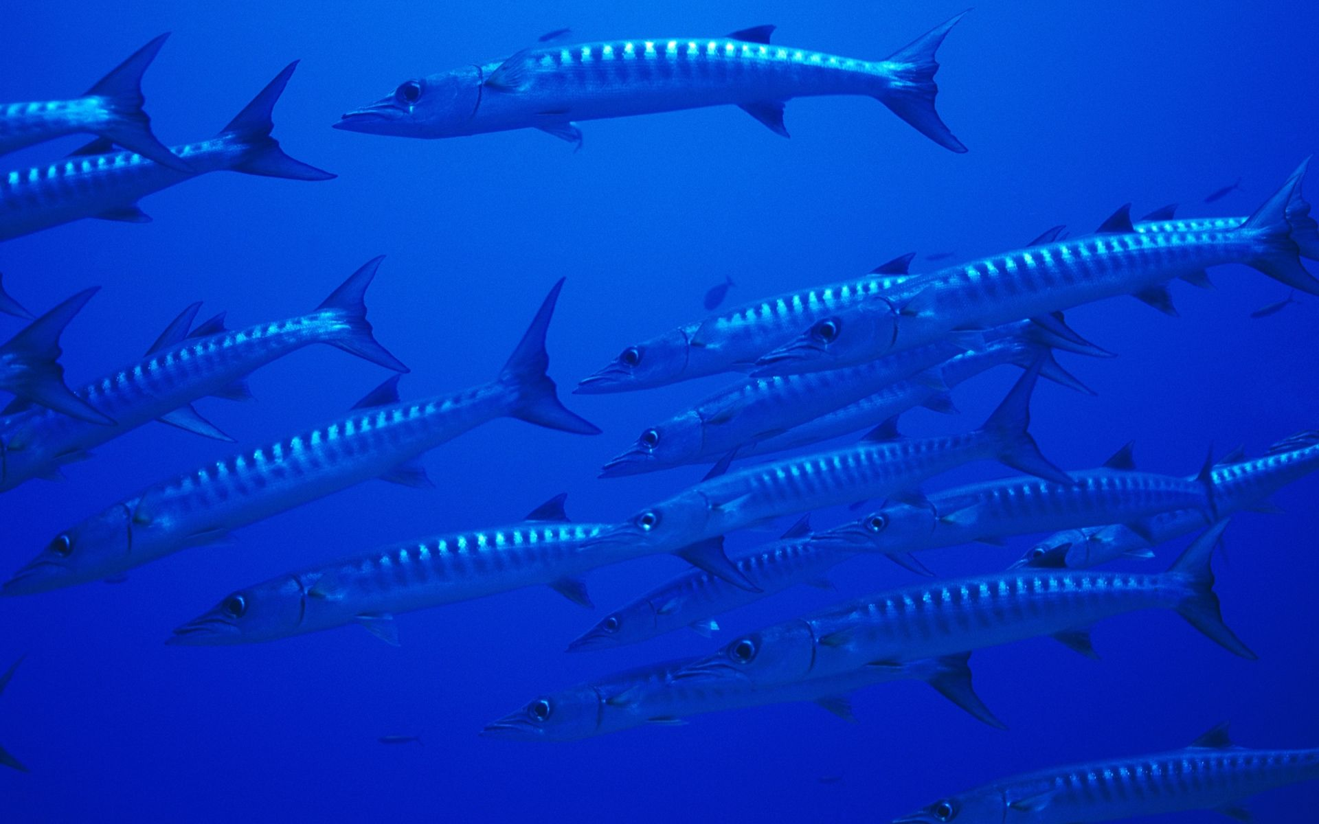 Barracuda Marine Life Animals Fish Wallpaper Fish