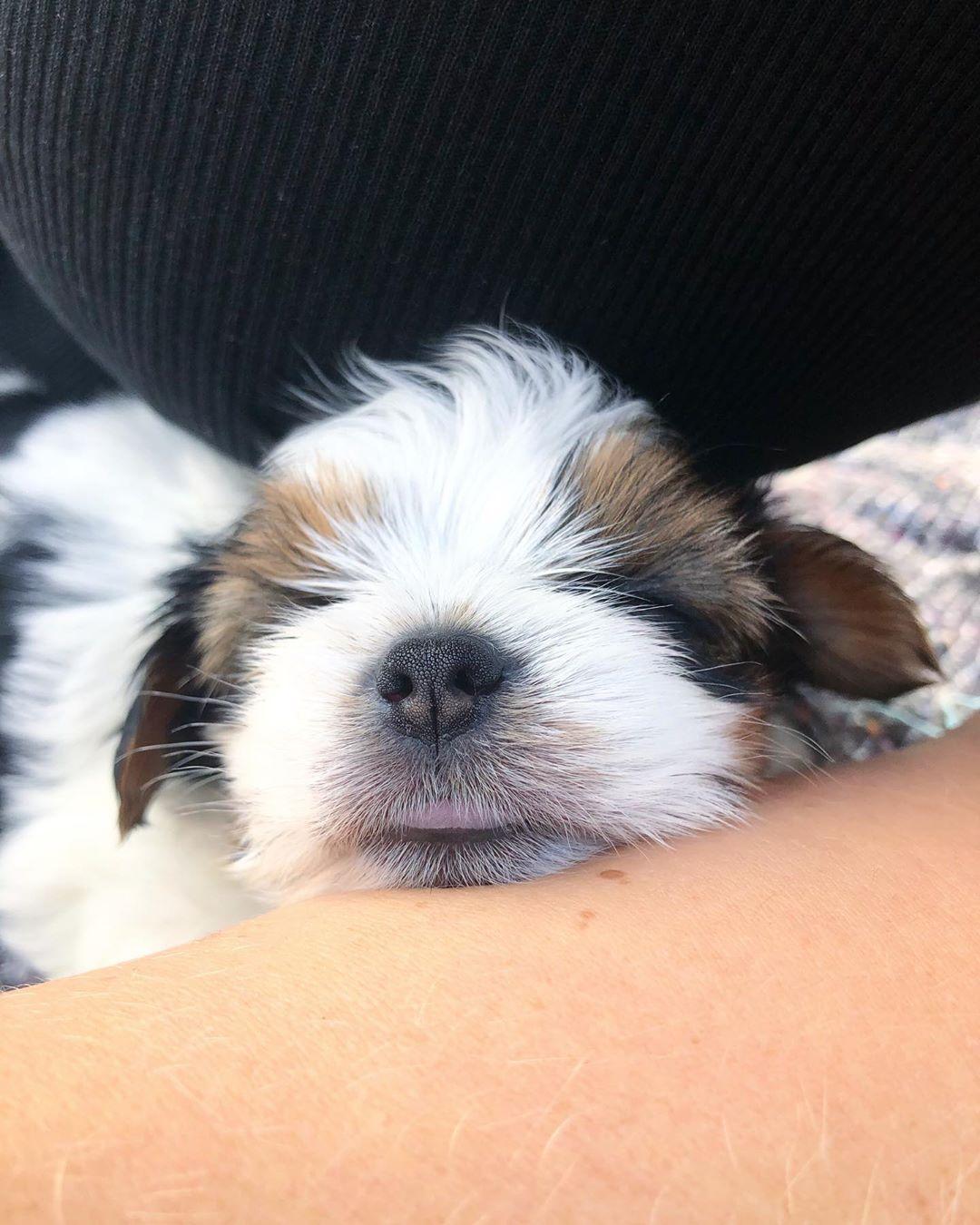 Biewer Biewerterrier Bieweryorkie Biewerpuppy Bieweryorkshireterrier Puppy Puppylove Dog Dogs Pets Dogsofinstag Biewer Yorkie Dogs With Jobs Puppies