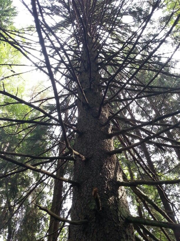 Oksainen puu