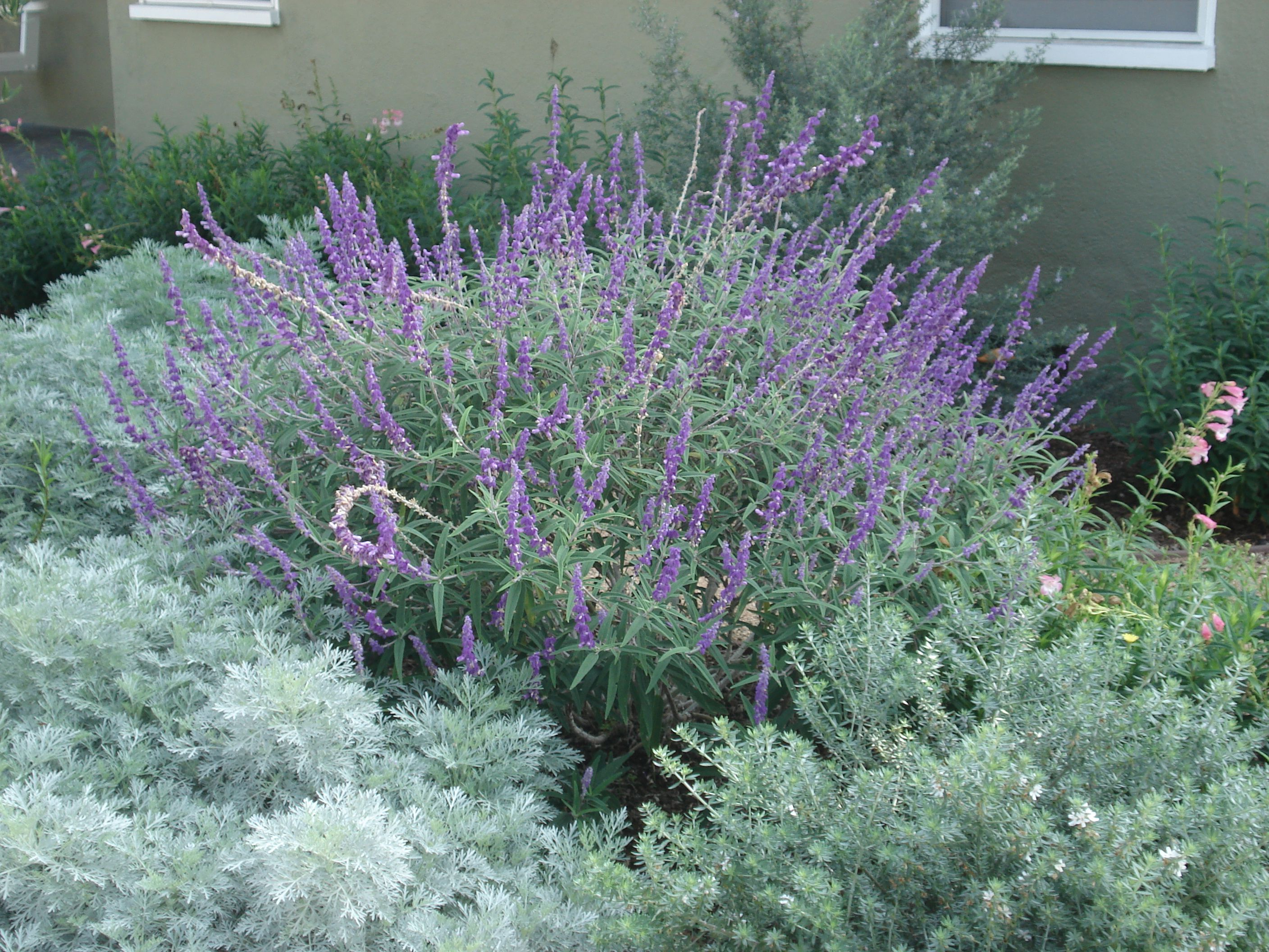 Landscaping with Lavender Plants | Native shrubs in the landscape ...