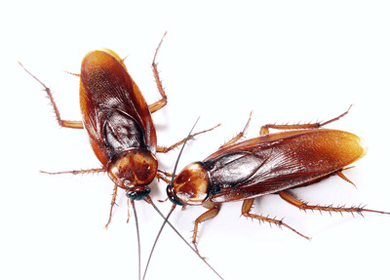 Repel These 5 Household Pests Naturally Palmetto Bugs Termite Control Cockroach Control