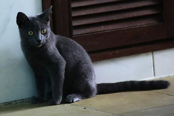 A Cuban Blue cat sits in the kitchen of an apartment in Havana.