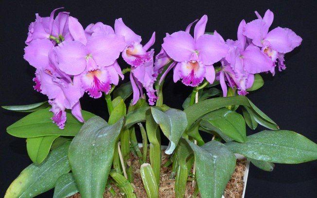 Orquídea da espécie Cattleya labiata