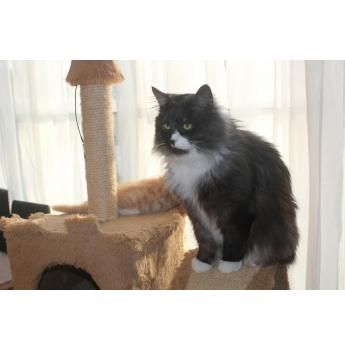 Sunrise Siberians Siberian Cat Breeder Bowral Nsw Ozzy Phantom Cats Siberian Cat Beautiful Cats Siberian Cat Breeders
