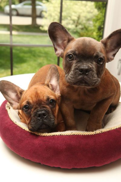 French Bulldog Puppies Bulldog Puppies French Bulldog French