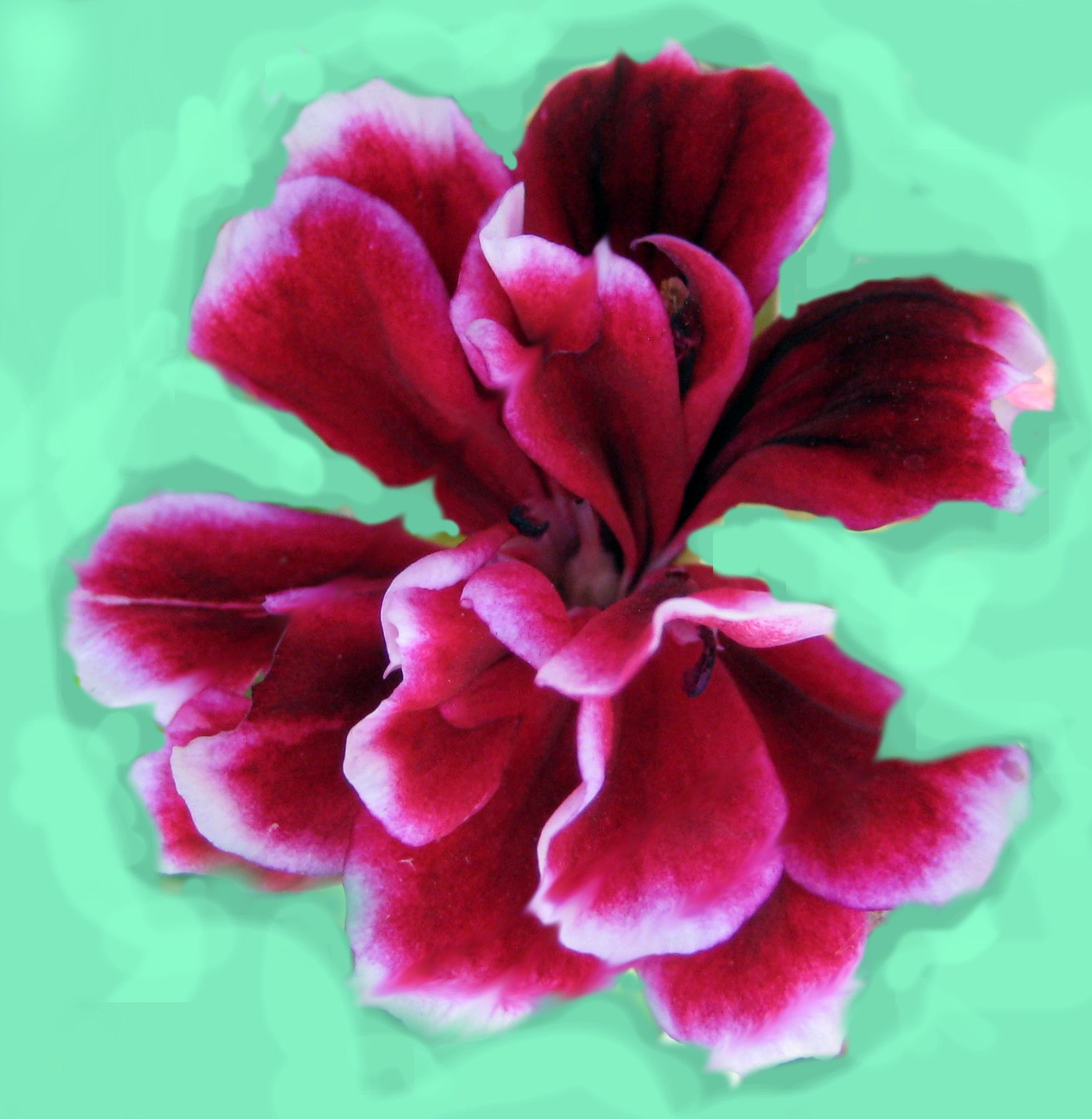 Geranium / Pelargonium Garden Advice By Jim Zemcik: When To Water Geraniums  (use Impatiens