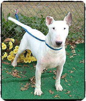 Marietta Ga Bull Terrier Meet Tyson